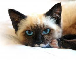 Siamese cat Wallpaper 867