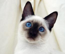 Siamese cat Wallpaper | Fun Animals Wiki, Videos, Pictures, Stories 1261