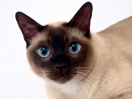 Beautiful Siamese cat closeup wallpapers and imageswallpapers 1640