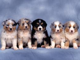 Small Dogs HD large resolution background 701