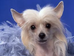 Chinese CrestedAll Small Dogs Wallpaper14883889Fanpop 1397