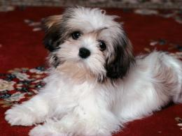 wallpaper small dog breeds list and pics wallpaper small dog breeds 106