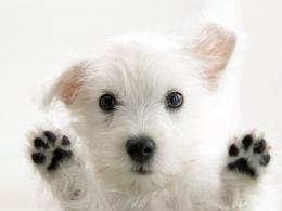 Cute Little White Dog Wallpaper | Wallpaper ME 288