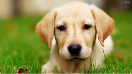 Innocent Face Little Dog Wallpaper 1920x1080 | Full HD Wallpapers 1126