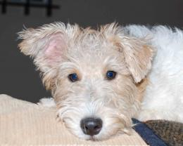 Wire Fox Terrier All Small Dogs HD Wallpaper 733