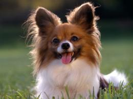 papillonAll Small Dogs Wallpaper18774248Fanpop 196