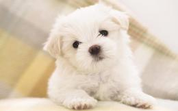 Small White Dog Loving | Windows 8 Wallpaper HD 822