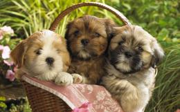 Cute Puppy Small Dog HD WallpapersDownlaod Free HD Wallpapers 1618