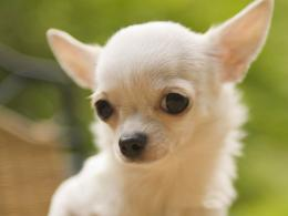 Cute Small Dogs Pictures | Hd Wallpapers 1445