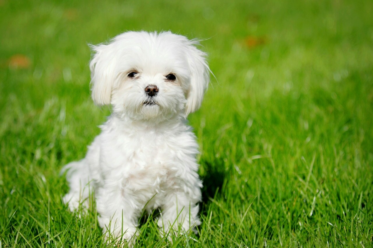 Small Dog Breeds ImagesWallpapers High Definition 445