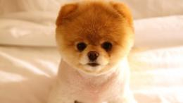 very cute little dog | wallpapers55 comBest Wallpapers for PCs 1745