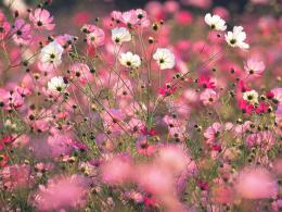 Cosmos Spring Flower WallpaperColorful Cosmos Spring Flower 967