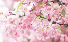 Description: Sakura Spring Flowers Wallpaper is a hi res Wallpaper for 445
