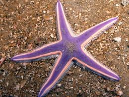 Purple Starfish Wallpaper | Wallpaper ME 649