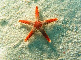 wallpapers: Starfish Wallpapers 1218