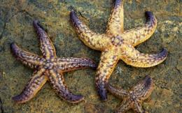 Keywords: Starfish Wallpapers, Starfish DesktopWallpapers, Starfish 562