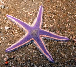 Beautiful Wallpapers: Star Fish Wallpapers 1005