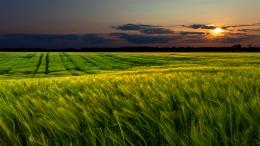 Description: The Wallpaper above is Green wheat field sunset Wallpaper 262
