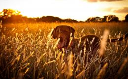 Download Dog Field Sunset High quality wallpaper 449