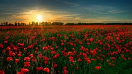 Poppy field in the sunset Wallpaper 1569