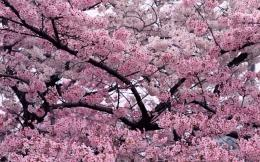 Cherry blossom tree hd wallpaper background 729