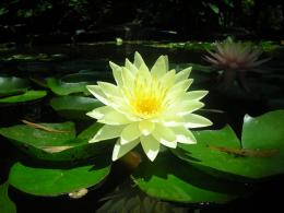 Water Lily Flower HD Wallpapers | Water Lily Flowers Images | Cool 1176