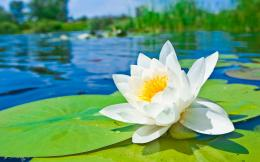 Water lily hd Wallpapers Pictures Photos Images 113