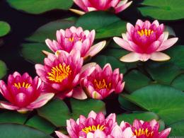 Water lilies pink pond lily pads flowers HD Wallpaper 759