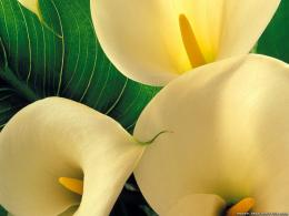 flowers lilys wallpapers hd 10 349