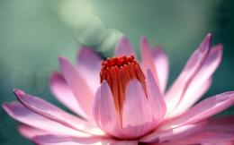 home flowers pink water lily hd wallpaper 1854
