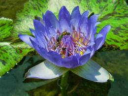 Bee on Water Lily Flowers HD Wallpapers 1522