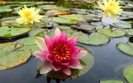 Widescreen HD WallpaperNatureFlowersWater lilies are always 850