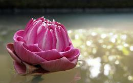 Water Lily 1080p Flowers HD Wallpaper for Desktop 761
