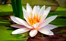 White Water Lily Wallpapers Pictures Photos Images 595