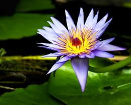 Lily Flower FreeDownload High Quality Hd Water Flower Widescreen 1284