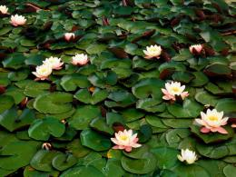 Free Flower WallpaperDownload High Definition Water Lilies Flowers 863