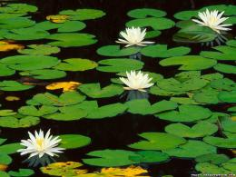 Water Lily – Flower wallpapers – Crazy Frankenstein » Water Lily 1909