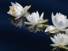 view white water lily flower lake hd wallpaper 1445