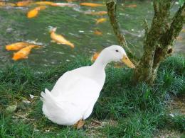 white duck best picture desktop background hd wallpapers widescreen 1012