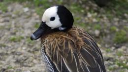 Full View and Download White Faced Whistling Duck Wallpaper with 1592