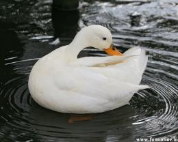 Duck Wallpapers, Download Free Mandarin and Mallard Ducks Wallpaper 1648