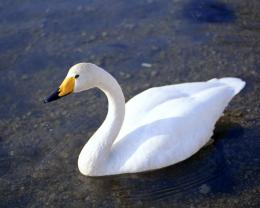 download White Duck wallpaper 703