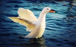 White Duck Desktop Wallpapers | White Duck Pictures | Cool Wallpapers 588
