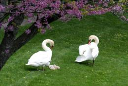 white swans pair beautiful white duck h wallpaper of white duck white 331