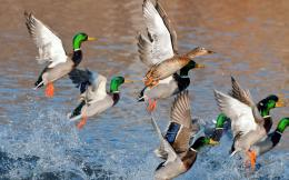 mallard ducks flying beautiful mallard duck mallard bird sitting near 362