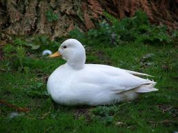 White Call Duck Bird Free Pet Category Birds HD Wallpaper 626
