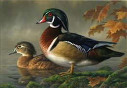 brown,white,black duck is swimming in water,wallpapers,pictures,images 1151