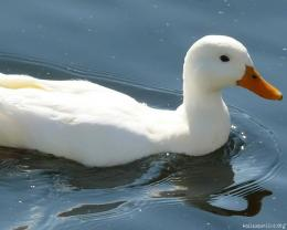 Pure White duck 679