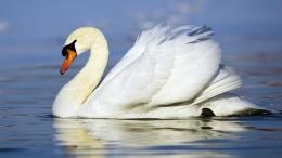 white duck in yhe water white duck lovely images beautiful white duck 457