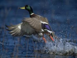 flying duck hd wallpapers beautiful background duck images 984
